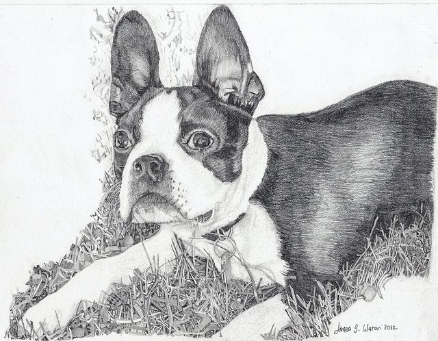 boston terrier drawings 17 best images about art pencil ink on pinterest easy 5109