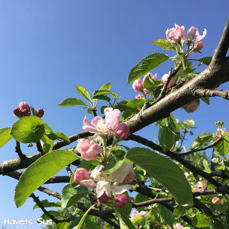 forår - spring - mygarden - minhave - blomster - flowers - havetssus - havets sus