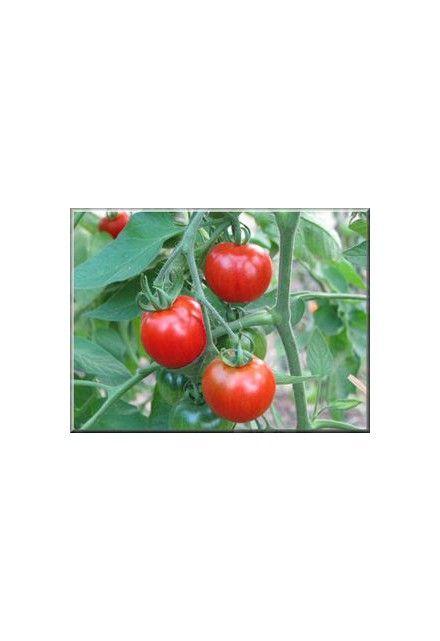 Tomate Stupice. Variété précoce donnant des fruits en juin.