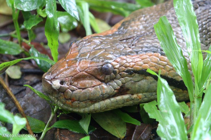 Green anaconda (Eunectes murinus) in Colombia