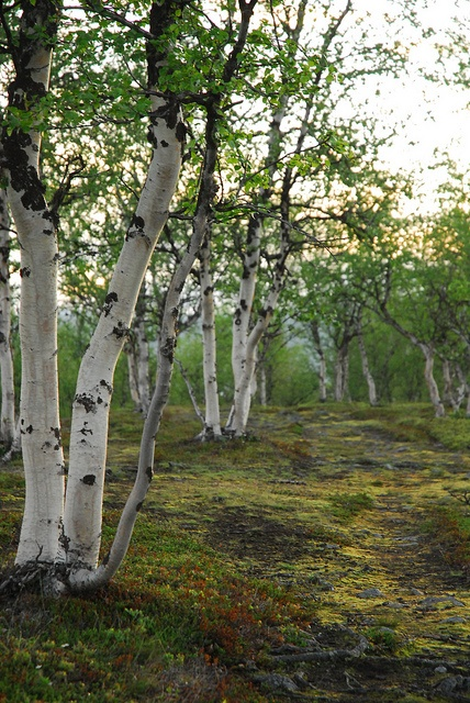 elynios:    Birch Forest, late at night in Sarek National Park, Sweden by Aroha Pounamu on Flickr.