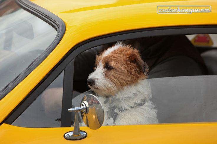Ein Hund am Steuer? Fast, der Wagen ist rechtsgelenkt. Mehr Hunde und Autos gibt es hier: http://www.zwischengas.com/de/bildermagie?q=hund___hunde___Pankel___Borgward___Bein&title=Hunde%20und%20Oldtimer  © Bruno von Rotz / zwischengas