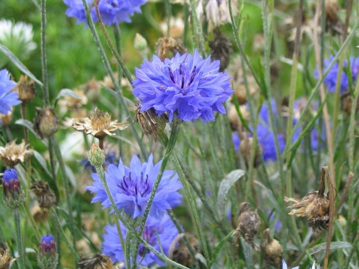 El BatiBlog - Información sobre todo: Acianos - Descripción y cultivo de la planta