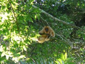aullador-rojo. Misiones forest. Argentina
