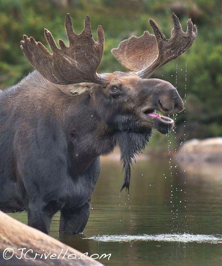 Large bull moose in velvet