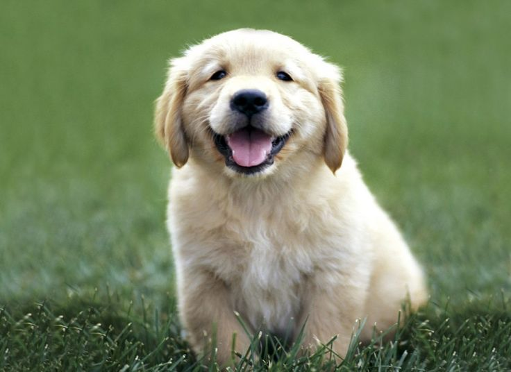 Golden Retriever Puppy | Dog Breeds WallpapersDog Breeds Wallpapers