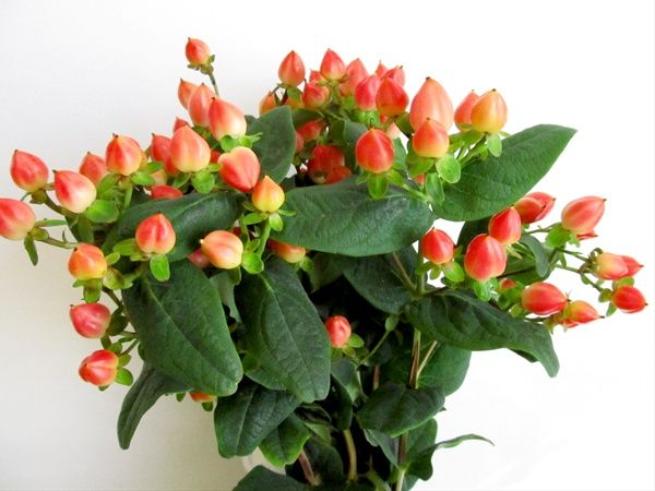 Magical Pumpkin - Hypericum - Flowers and Fillers - Flowers by category | Sierra Flower Finder