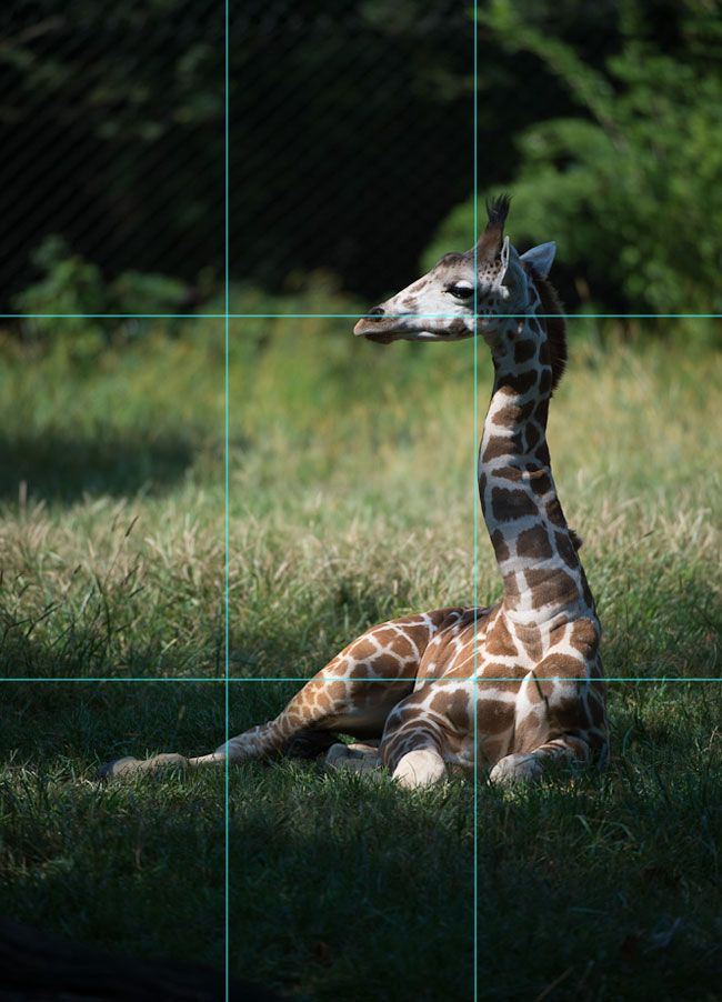 Diane Berkenfeld photo of a giraffe with the rule of thirds rules overlaying the photo
