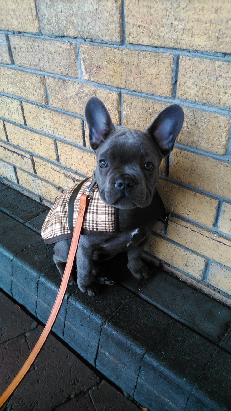 Because French bulldogs make the world better. Every day. This blog has no commercial purpose...