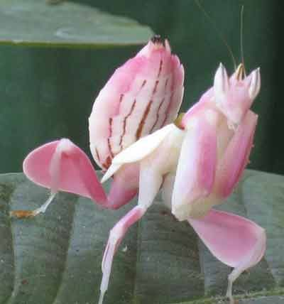 Clever praying mantis disguised as an orchid