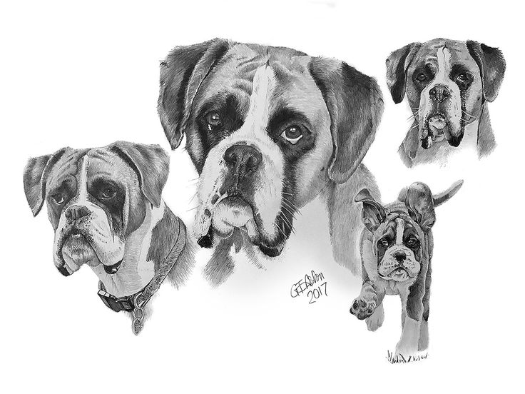 A dog drawing montage of 2 dogs named Teal and Kaya, both boxer dogs.