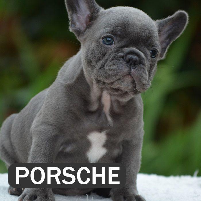 Porsche French Bulldog French Bulldog Breed White French Bulldog Puppies
