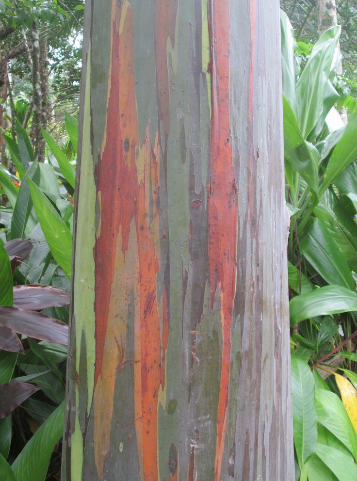 Hana Road, Maui - Garden of Eden Arboretum (mile 10.5) - Rainbow Eucalyptus, or Painted Gum Tree (Aug 23, 2014).