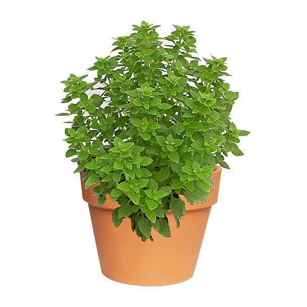 Las 25 mejores ideas sobre planta de albahaca en for Cultivo de albahaca en interior