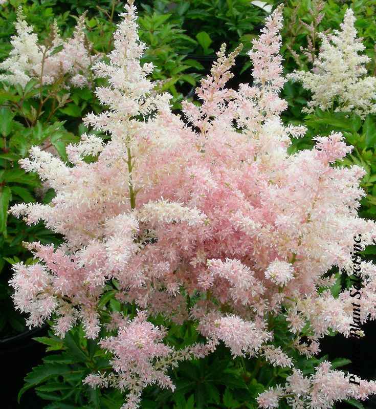 Astilbe Younique Silvery Pink    US growing zone 4