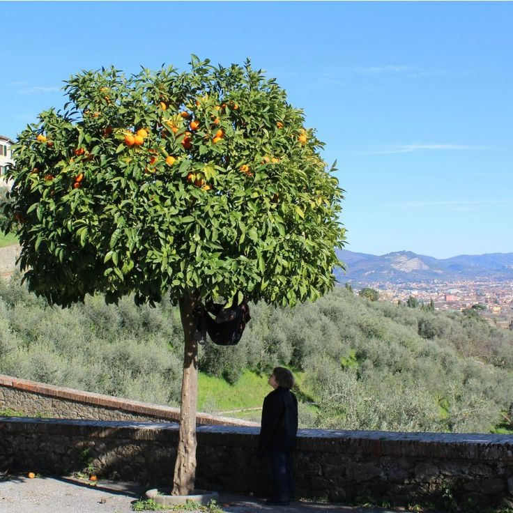 Today Archie spotted a relatively rare Australian animal hanging from an orange tree in Tuscany scavenging for citrus.