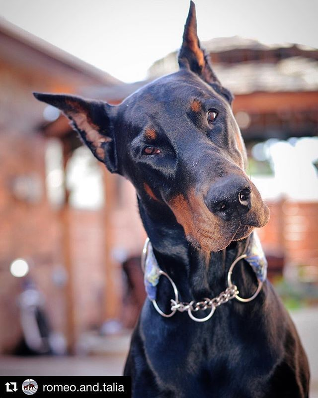 Head Tilt On Point Dobergear Credit Romeo And Talia Trading