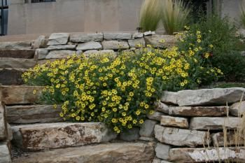 Xeriscaping: Chocolates Flower, Flower Berlandiera, Yard Gardens, Lyrata Chocolates, Backyard Outdoor, Plants Selection, Daisies Lik Flower, Yellow Flower, Gardens Plants
