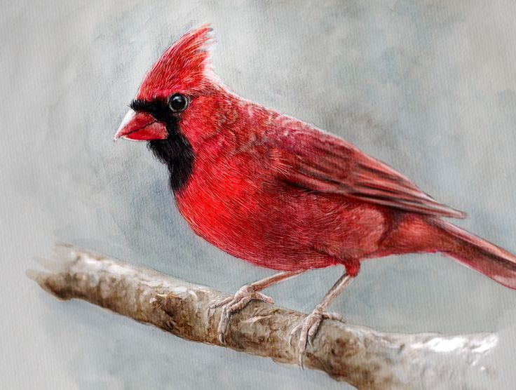 Cardinal - Watercolour Illustration on Behance