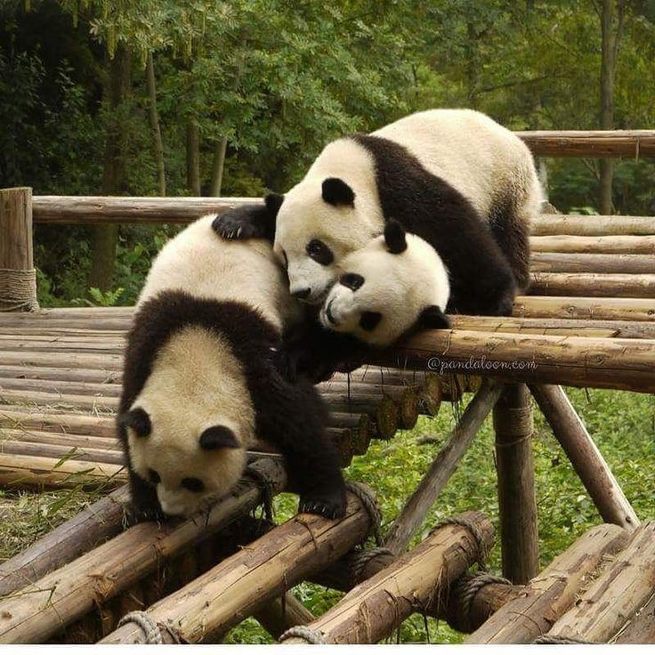 Like if you are a panda lover! Also dont forget to follow! . . . . . #bear #animal #fluffy #cute #kawaii #instafashion #love