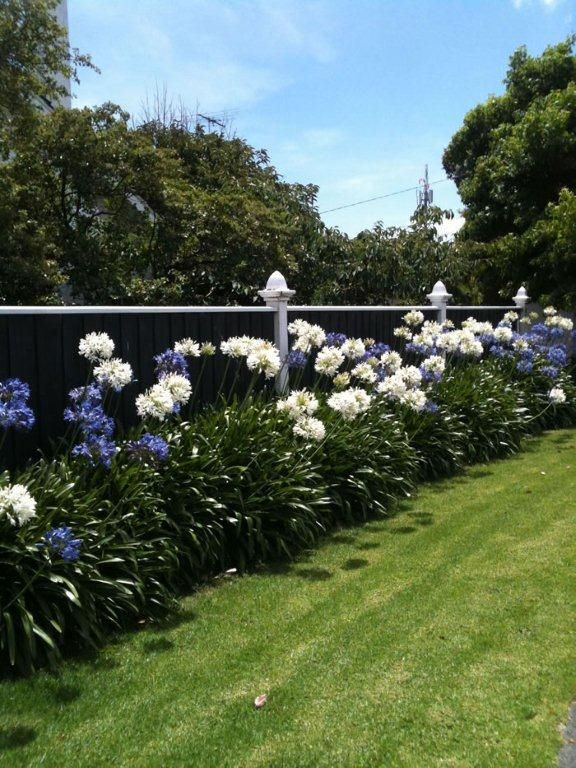 Blue & White Agapanthus: it must be Christmas!