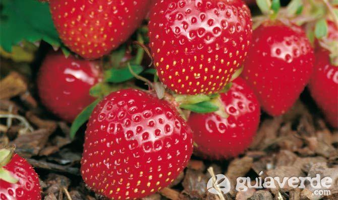 Huerto casero ( cultivo de fresas )