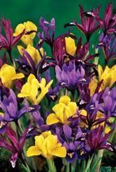 Iris Dwarf Mixed