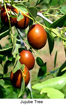 Fruits of Indian Jujube Tree [Ziziphus jujuba]. The tree is also known as Ber in Hindi and Bengali. It belongs to the Family Rhamnaceae.