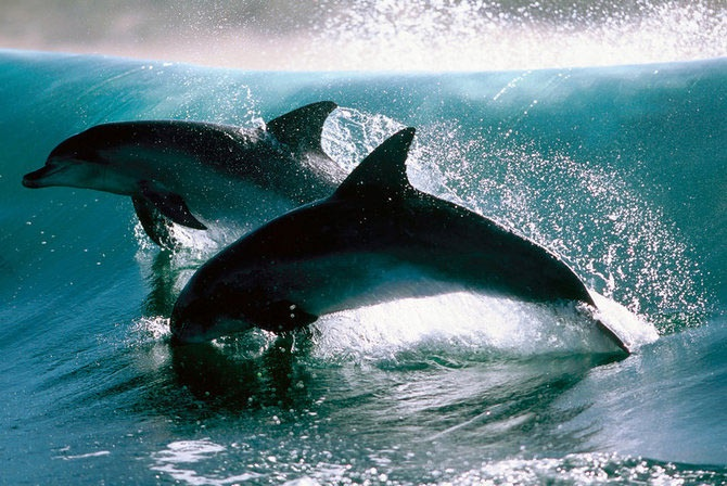 Dolphins: Dolphins 3, Dolphins Dolphins, Amazing Dolphins, Animals Dolphins, Nature S Beautiful, Dls Dolphins, Favorite Animal, Dolphins Surfing, Beautiful Animals Nature