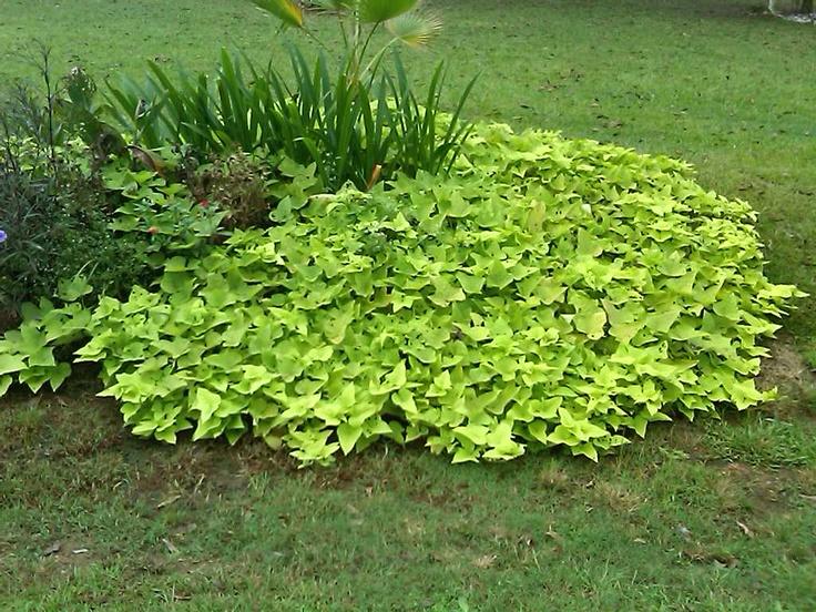 My potato vine | My yard and garden over the years