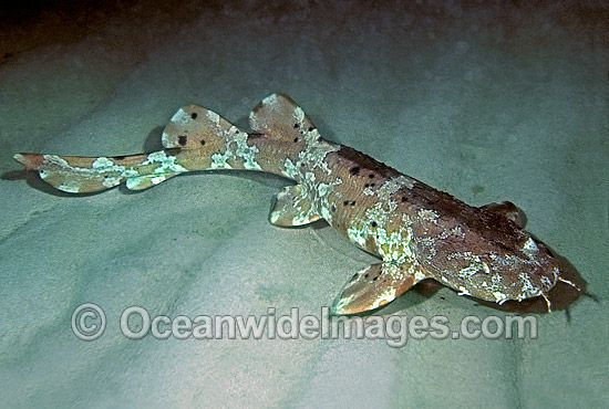 Cobbler Wobbegong Shark  (sutorectus tentaculatus) (home aquarium)