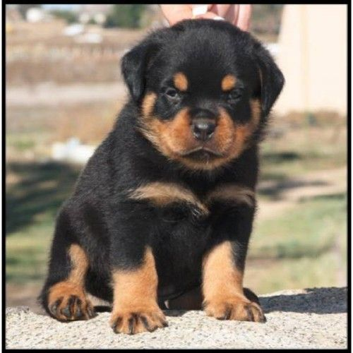 Want! Baby Rottweiler