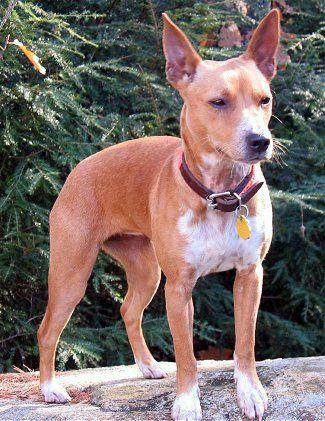 Kentucky Jody (brown and white female) Treeing (aka Mountain) Feist dog