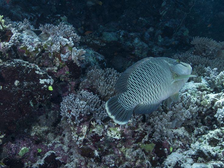 """https://flic.kr/p/RoMgPS   Persecución por el arrecife.   Pez Napoleon-Cheilinus undulatus  - Arrecife Jumna (Sudan - Mar Rojo austral).  Realmente no se trataba de una """"persecución"""". Seguí unos cientos de metros por el arrecife a este joven carangido hembra que constantemente se mantenía a  una distancia prudencial del frontal de mi objetivo. Si ampliáis la imagen, se puede observar la intrincada decoración de su cabeza, que asemeja a un original tatuaje étnico."""
