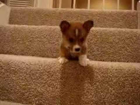 corgi v. stairs