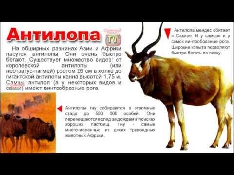 Энциклопедия для детей. Буква А. Антилопа.