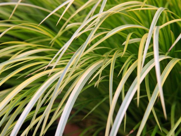 Acorus gramineus 39 ogen 39 makes a cascading clump of yellow for Ornamental grass yellow