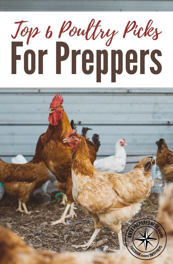 Top 6 Poultry for Preppers — If you are prepping for the end of the world or about to start a homestead, poultry should be top on your list of animals to get. It isn't just limited to chickens either