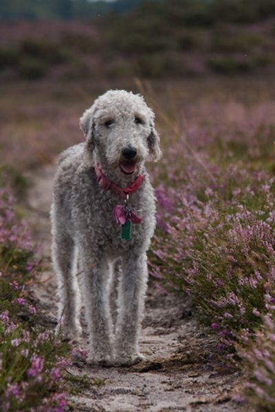 Continuing our series on Britain's favourite dogs, we meet the Bedlington terrier, whose cuddly appearance belies its sporting roots