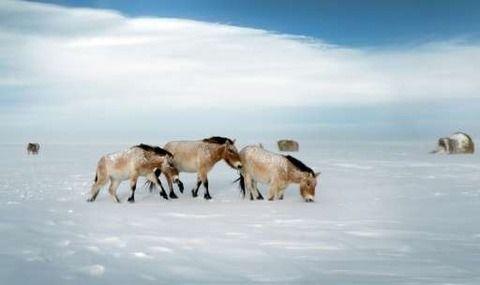 モウコノウマ(蒙古野馬)シマウマとノロバを除けば、 地球に現存する最後の野生馬です。