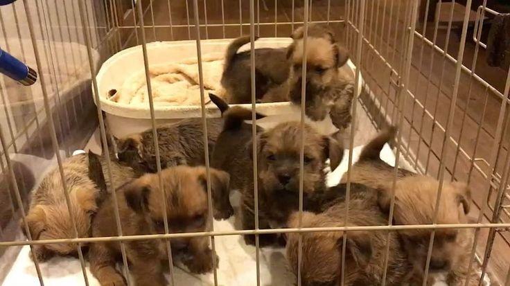 いいね!30件、コメント1件 ― obayashi.hirokiさん(@obyshrk000)のInstagramアカウント: 「うじゃうじゃ🐶🐶🐶 #norfolkterrier #norfolk #NFT #ノーフォークテリア#ノーフォーク #terrier #テリア #dog #犬 #わんこ #ワンコ #breeder…」