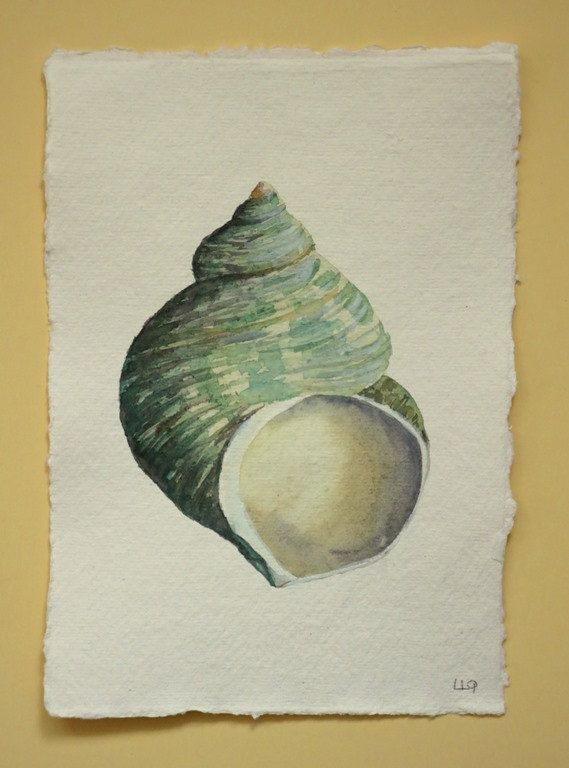 An original watercolour painting of a turbo shell from my collection, a little treasure gathered at the oceans edge.