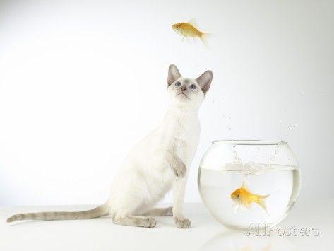 Siamese kitten with jumping goldfish