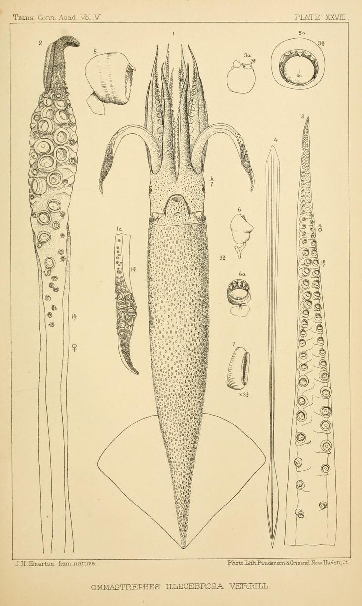 Pt. 2 - The cephalopods of the north-eastern coast of America / - Biodiversity Heritage Library