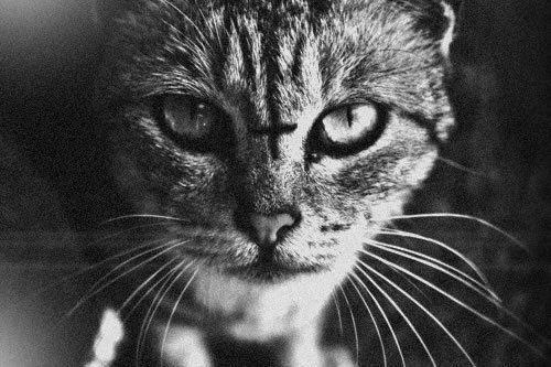 62 Best Demon Cats Images On Pinterest Kitty Cats Evil