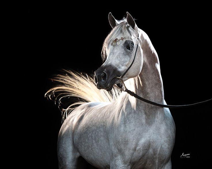 Al Fayed (Ansata Sinan x Zahir Kalila), grey straight Egyptian Arabian stallion, sire of 2015 Misty Valley foal