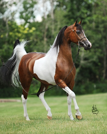 Imagine Fame  (The Color of Fame x Sunhi Ddancer)  March 5, 2005 Bay Tobiano Mare