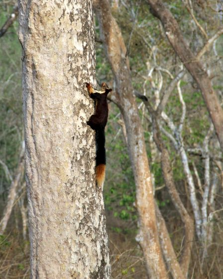 Indian Giant Squirrel, Nagarhole Tiger Reserve, India