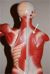 Muscles of the Shoulder and Arm  	    Both Sides  Trapezius    Elevates, depresses, retracts, and rotates the scapula; rotates the arm