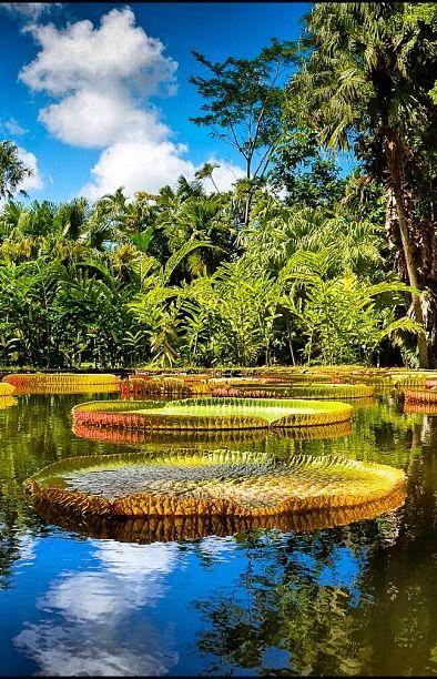 Giant Lotus | Mauritius, E of Africa